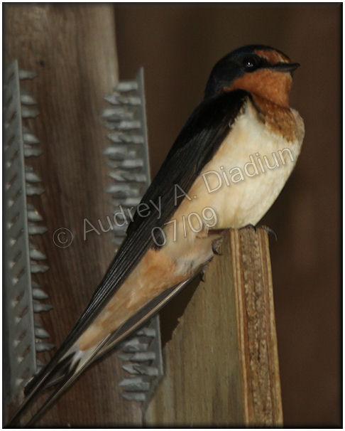 Aad-BarnSwallow-7-11-09-1583