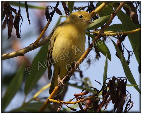 Aad-YellowWarbler-7-11-09-1698