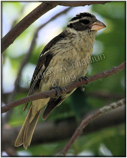 Aad-Rose-BreastedGrosbeak-7-11-09-1542