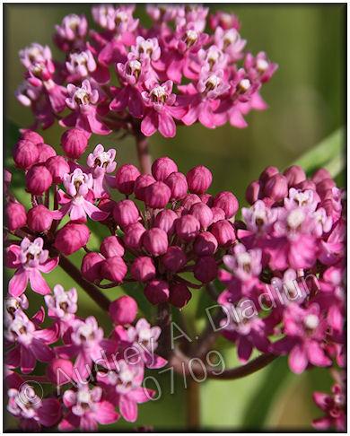Aad-flowers-7-24-09-2378