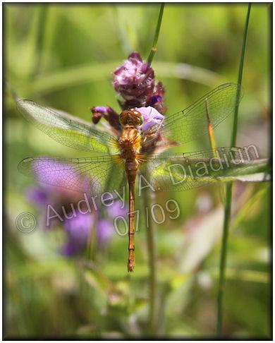 Aad-dragonfly-7-24-09-2428
