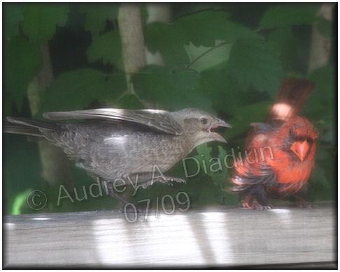 Aad-BrownHeadedCowbirdNorthernCardinal-7-27-09-2676