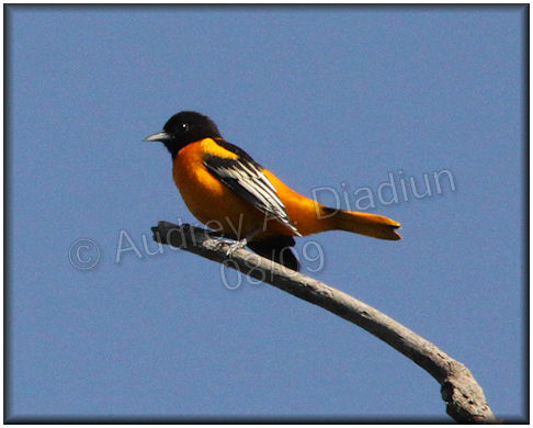 Aad-BaltimoreOriole-8-2-09-2788