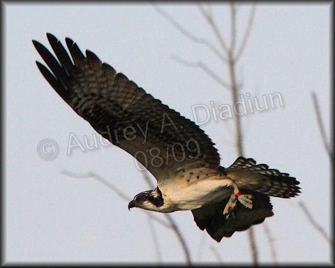 Aad-Osprey-8-15-09-3054