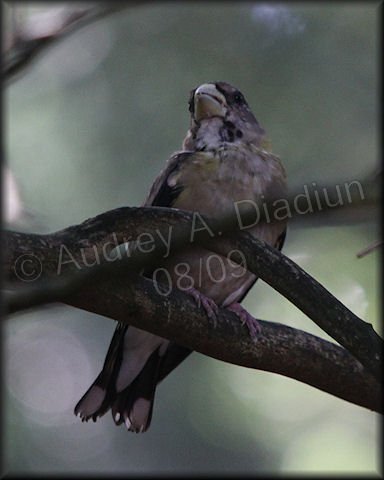 Aad-EveningGrosbeak-8-15-09-3124