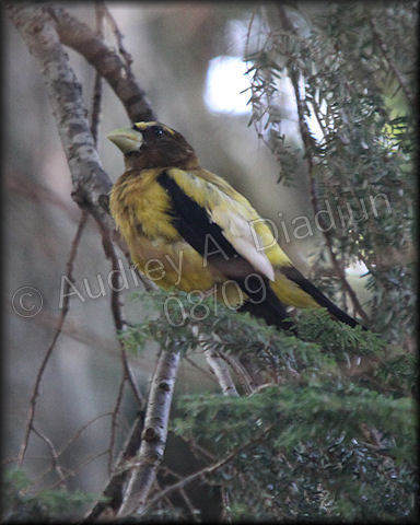 Aad-EveningGrosbeak-8-15-09-3130