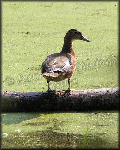 Aad-WoodDuck-8-16-09-3291