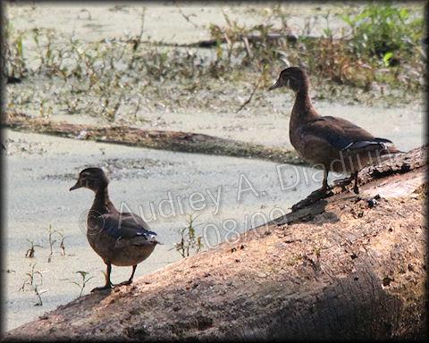 Aad-WoodDuck-8-16-09-3292