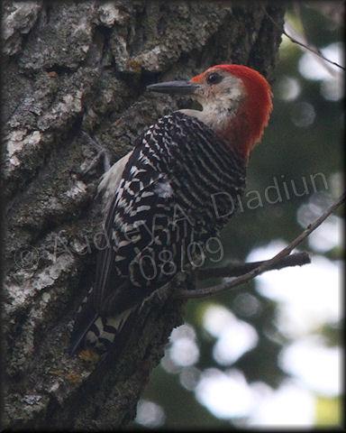 Aad-Red-BelliedWoodpecker-8-16-09-3362