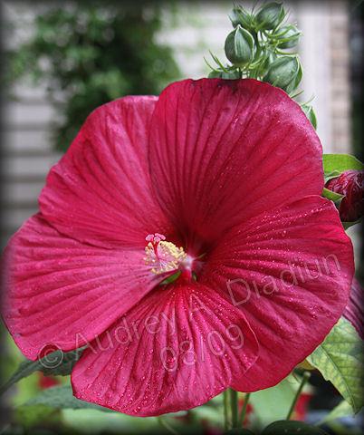 Add-hibiscus-8-21-09-3404