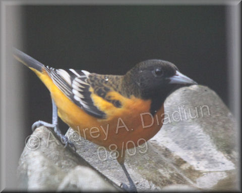 Aad-BaltimoreOriole-8-21-09-3412