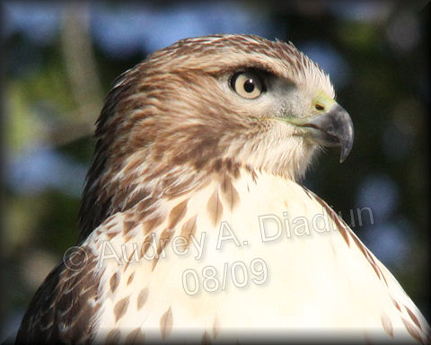 Aad-Red-TailedHawk-8-22-09-3499