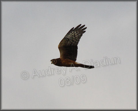 Aad-NorthernHarrier-8-22-09-3551