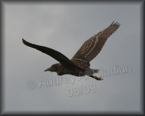 Aad-Black-CrownedNightHeron-juvi-8-22-09-3587