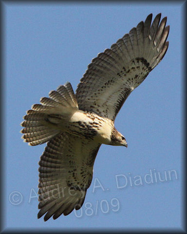 Aad-Red-TailedHawk-immature-8-30-09-3793