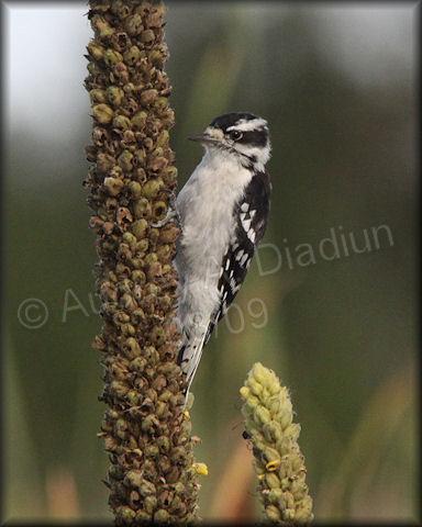 Aad-DownyWoodpecker-8-30-09-3844