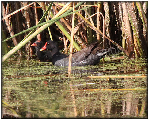 Aad-CommonMoorhen-7-18-09-2147