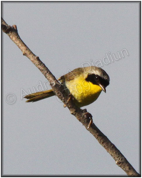 Aad-CommonYellowthroat-7-18-09-2106
