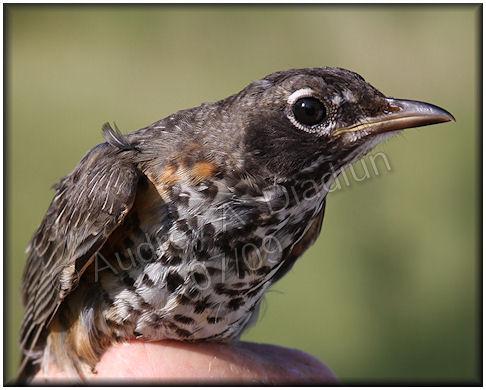Aad-AmericanRobin-juvenile-7-16-09-1863