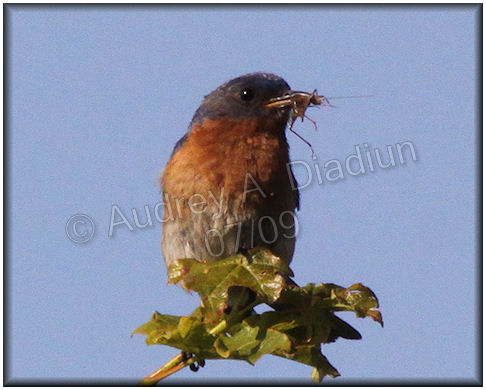 Aad-EasternBluebird-7-12-09-1735