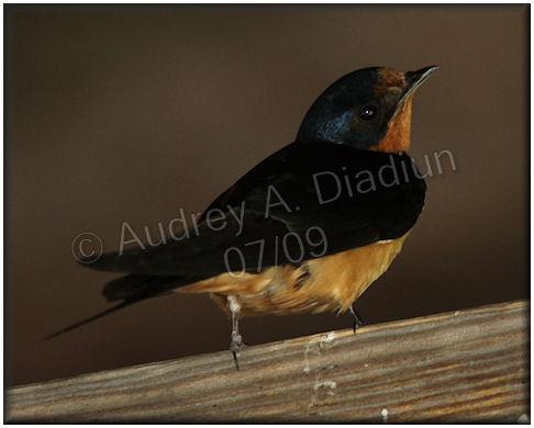 Aad-BarnSwallow-7-11-09-1587