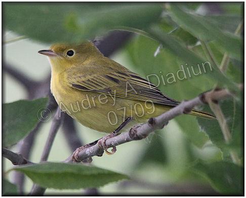 Aad-YellowWarbler-7-11-09-1693