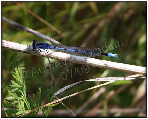 Aad-dragonfly-7-24-09-2299