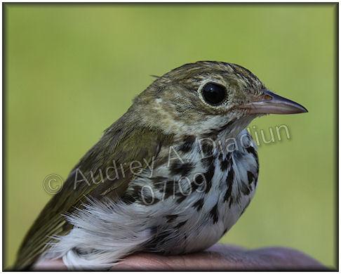 Aad-Ovenbird-7-24-09-2381