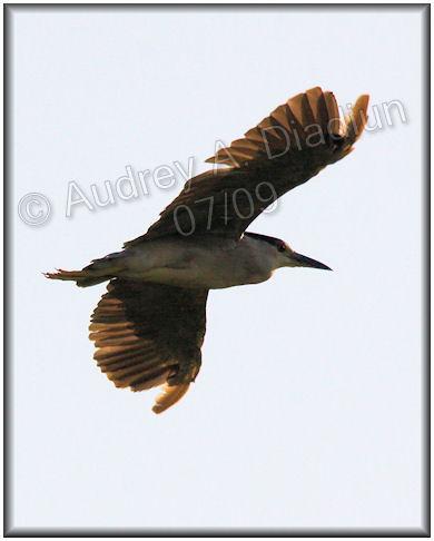Aad-Black-CrownedNightHeron-7-25-09-2570
