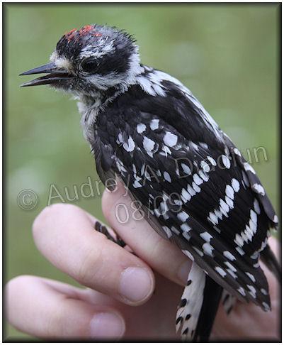 Aad-DownyWoodpecker-8-6-09-2882