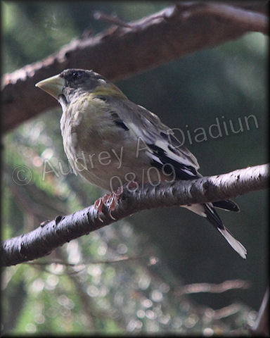 Aad-EveningGrosbeak-8-15-09-3132