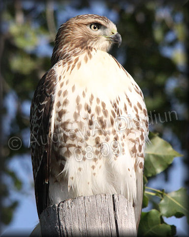 Aad-Red-TailedHawk-8-22-09-3500