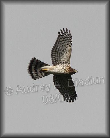 Aad-Broad-WingedHawk-8-22-09-3557