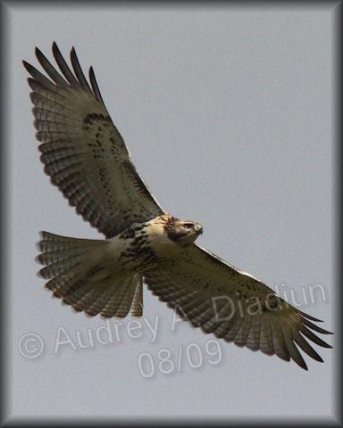Aad-Red-TailedHawk-immature-8-30-09-3792
