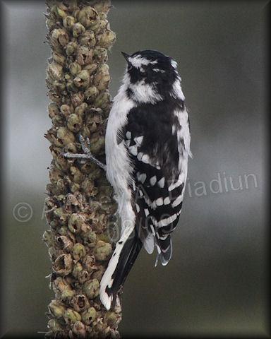 Aad-DownyWoodpecker-8-30-09-3581