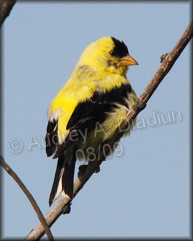 Aad-AmericanGoldfinch-male-8-30-09-3860