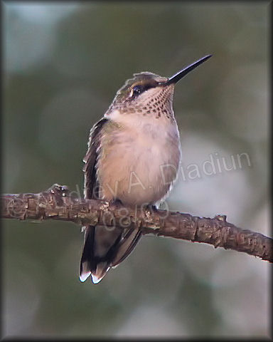 Aad-Ruby-ThroatedHummingbird-female-8-30-09-3903