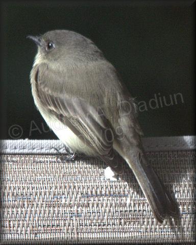 Aad-Flycatcher-9-24-09-4228