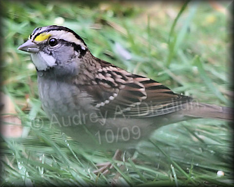 Aad-White-ThroatedSparrow-10-02-09-4538