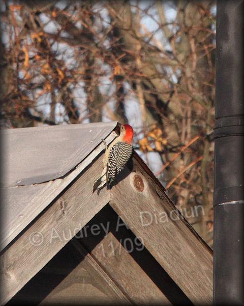 Aad-Red-BelliedWoodpecker-11-12-09-5253