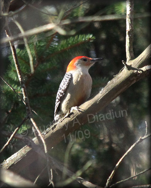 Aad-Red-BelliedWoodpecker-11-14-09-5342
