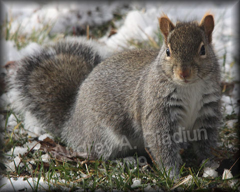 Aad-Squirrel-12-04-09-5680