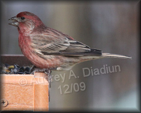 Aad-HouseFinch-12-6-09-5813