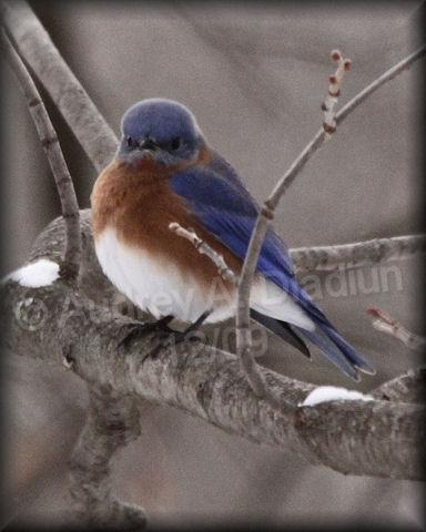 Aad-EasternBluebird-12-19-09-6691
