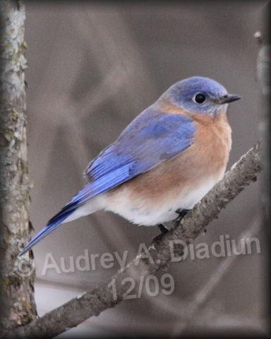 Aad-EasternBluebird-12-26-09-7250