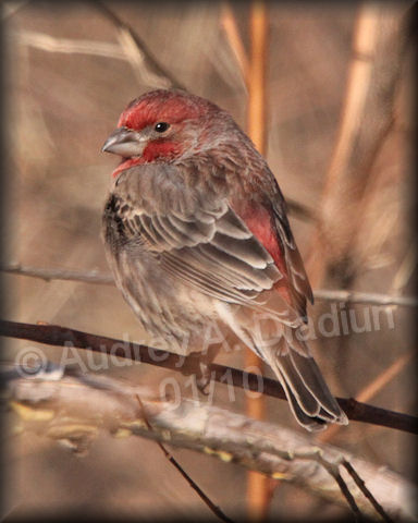 Aad-HouseFinch-01-02-10-7432