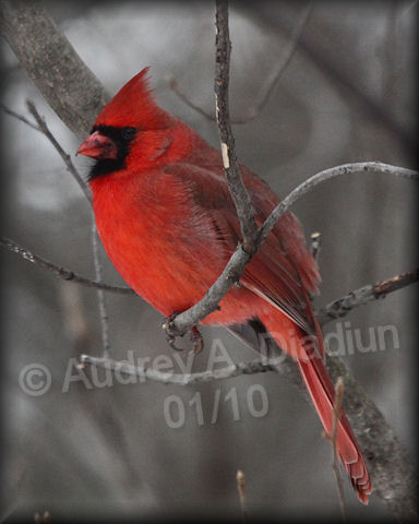 Aad-NorthernCardinal-male-01-04-10-7491