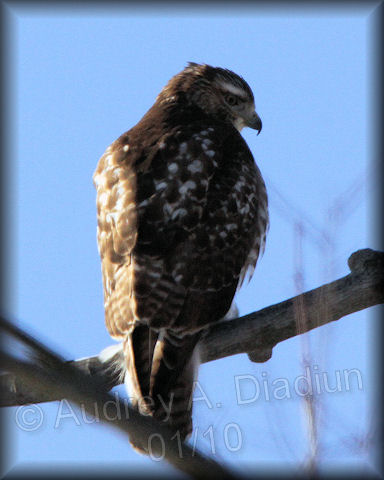 Aad-Red-TailedHawk-juvi-01-12-10-8068