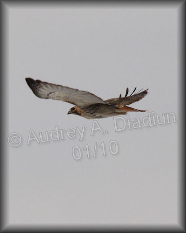 Aad-Red-TailedHawk-01-15-10-8224
