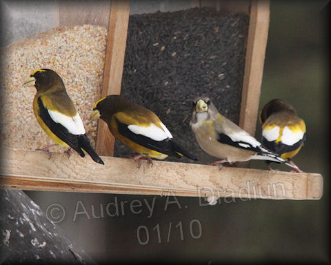 Aad-EveningGrosbeak-feeder-1-23-10-8508-blog